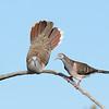 Bar-shouldered Doves