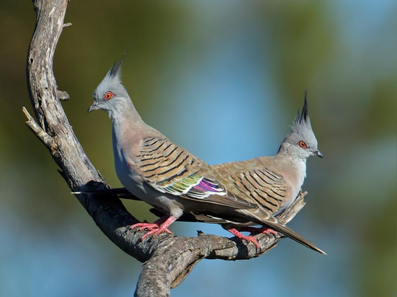 Bar-shouldered Doves, Federation Walk Coastal Reserve.