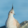 Crested Pigeon (Ocyphaps lophotes)