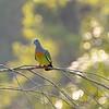 Pink-necked green pigeon (Treron vernans)