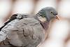 Common Wood-pigeon, Ringdue, Columba palumbus, Gl. Holte, Danmark, Jan-2014
