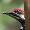 Pileated Woodpecker<br /> 02 SEP 2010