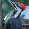 Pileated Woodpecker<br /> 25 JUL 2007