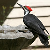 Pileated Woodpecker<br /> 31 AUG 2006