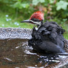 Pileated Woodpecker<br /> 16 AUG 2012