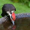 Pileated Woodpecker<br /> 01 JUN 2013
