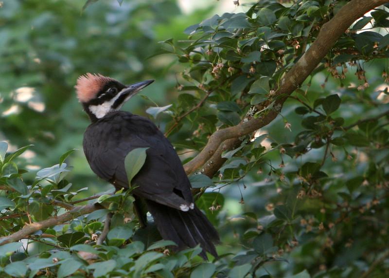 Pileated Woodpecker<br /> 09 JUL 2009