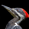 Pileated Woodpecker<br /> 06 AUG 2011
