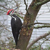 Pileated Woodpecker<br /> 01 JAN 2004