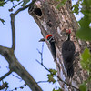 Pileated Woodpecker Nest 0108
