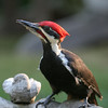 Pileated Woodpecker<br /> 26 SEP 2006