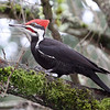 Pileated Woodpecker<br /> 21 JAN 2012