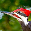 Pileated Woodpecker<br /> 08 OCT 2012