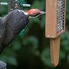 Pileated Woodpecker<br /> 06 AUG 2010