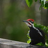 Pileated woodpecker on deck railing and checking out the BBQ. The video, with sound, of him drumming on the BBQ, is here:<br />http://suiattle.net/movies/SP/PileatedWP/index.html