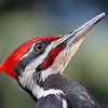 Pileated Woodpecker<br /> 17 MAR 2009