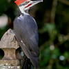 Pileated Woodpecker<br /> 17 SEP 2009