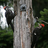 Pileated Woodpecker<br /> 19 JUL 2010<br /> Daughter and Father