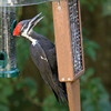 Pileated Woodpecker<br /> 05 AUG 2010