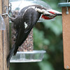 Pileated Woodpecker<br /> 16 JUL 2007