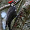 Pileated Woodpecker<br /> 24 MAR 2008
