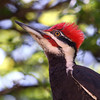 Pileated Woodpecker<br /> 14 MAY 2012