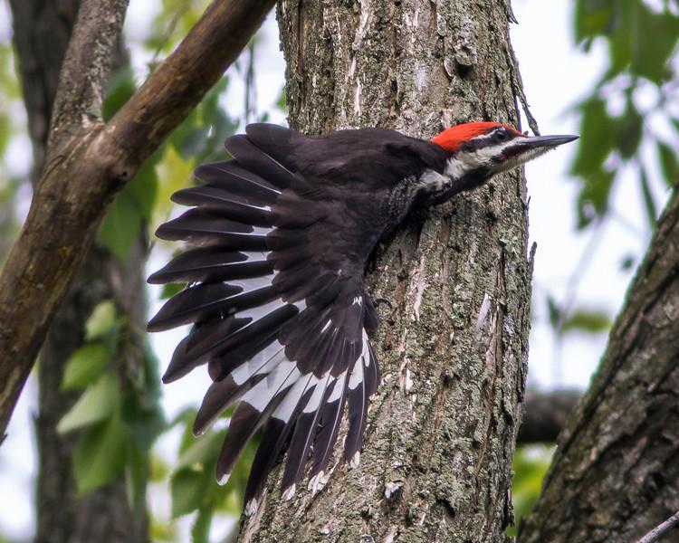 Pileated Woodpecker 0074