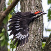 Pileated Woodpecker 0074