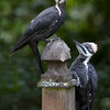 Pileated Woodpecker<br /> 24 JUL 2009<br /> Father and Daughter