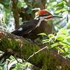 Pileated Woodpecker<br /> 27 JUL 2013