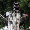 Pileated Woodpecker<br /> 30 JUN 2007<br /> Daughter and Father