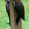 Pileated Woodpecker<br /> 10 JUL 2006