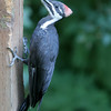 Pileated Woodpecker<br /> 27 JUL 2009
