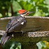 Pileated Woodpecker<br /> 27 JUL 2013