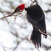 2018Jan31_Pileated Woodpeckers_0219