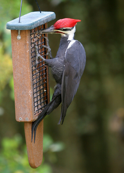 Pileated Woodpecker<br /> 22 OCT 2007