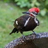 Pileated Woodpecker<br /> 23 JUL 2013