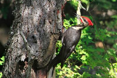Pileated Woodpecker - Alpha Lake, Whistler, British Columbia.