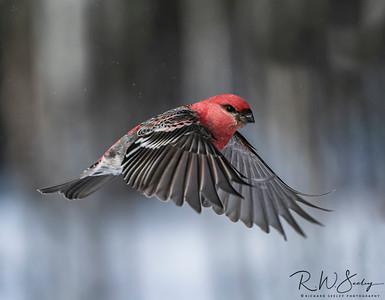 Pine Grosbeak Wings Down