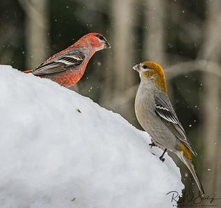 Pine Grosbeak Pair Gazing