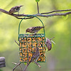 The Montgomery County Pine Siskins never miss a homemade suet buffet!