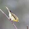 Pine Warbler (Female)