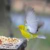Giorgio, the male Pine Warbler, flew in to sample the buffet