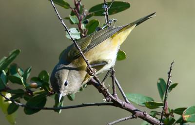 Orange-crowned Warbler (Taiga)