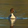pintai duck ברווז חד-זנב