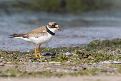 0U2A2132_Piping Plover adult