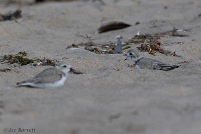 0U2A2037_Piping Plover