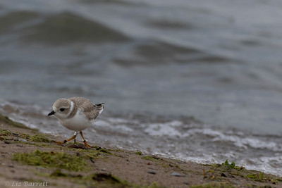 0U2A1914 _Piping Plover
