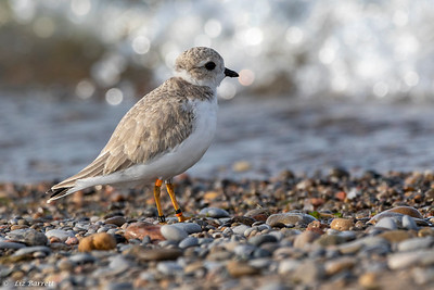 0U2A1827Piping Plovers