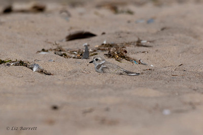 0U2A2093_Piping Plover